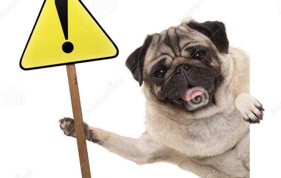 het-glimlachen-van-pug-puppyhond-die-gele-waarschuwing-aandachtsteken-met-uitroepteken-steunen-97918515